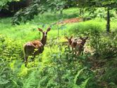 Lot N14HF Oak Glade Road, Albrightsville, PA 18210 - Image 1: Doe and fawns